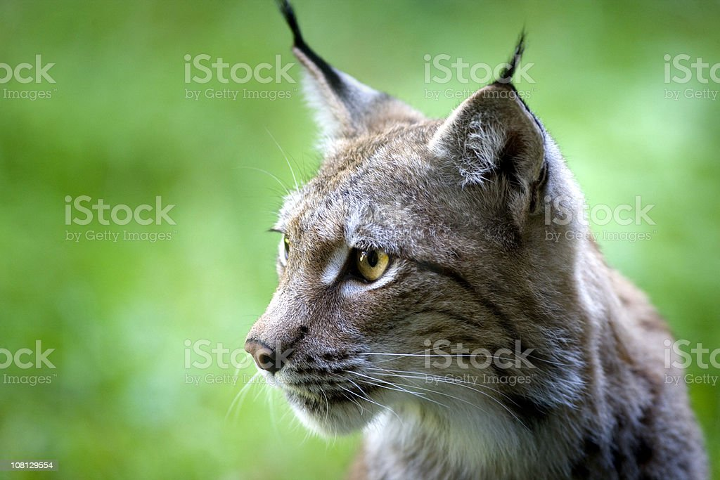 Lynx royalty-free stock photo