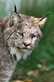 Close-up of a canadian lynx with natural background.