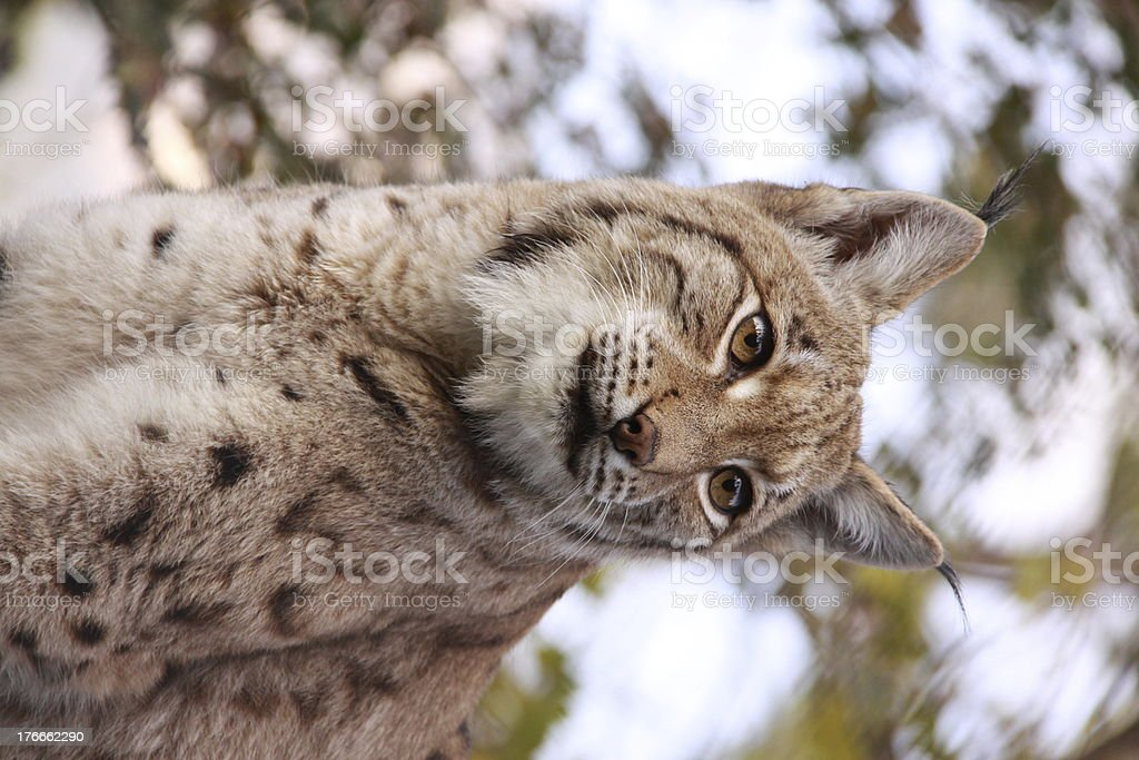 Luchs royalty-free stock photo