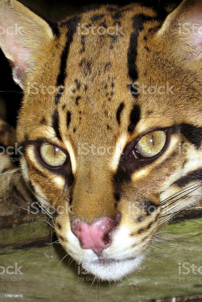 lince royalty-free stock photo