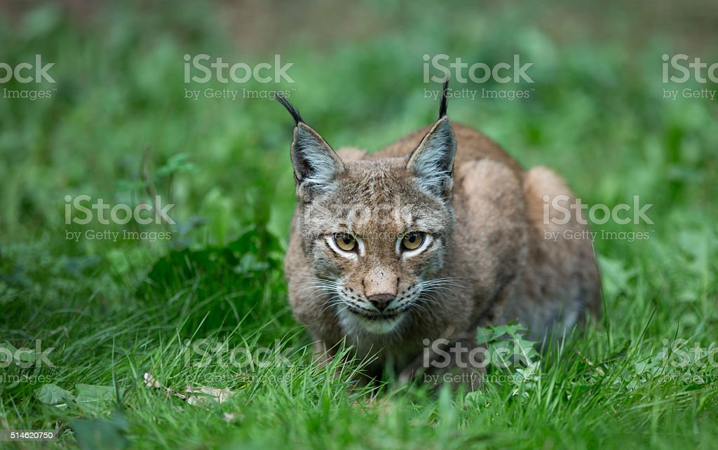 Lynx – Foto