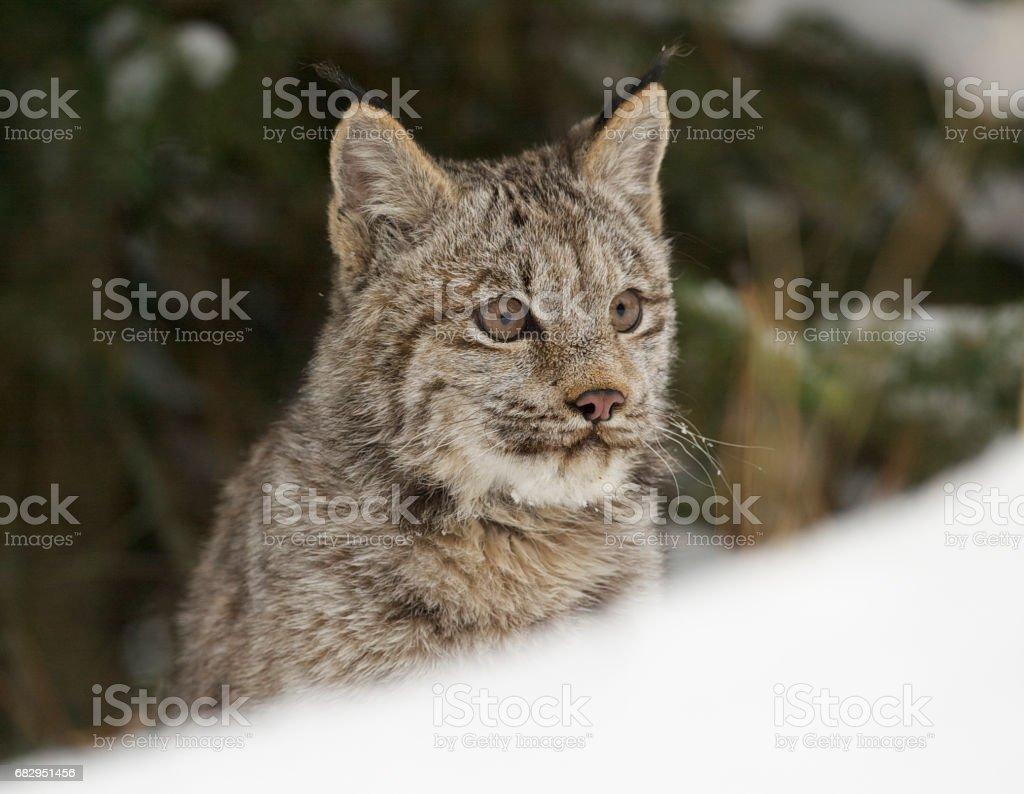 Lynx foto de stock libre de derechos