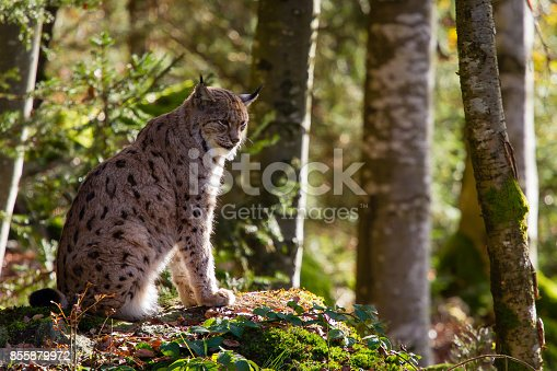 Lynx in natural environment.