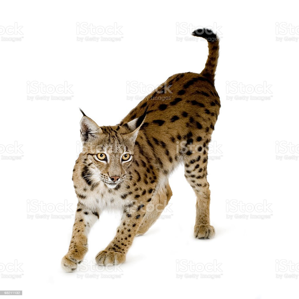 Lynx (2 years) stock photo