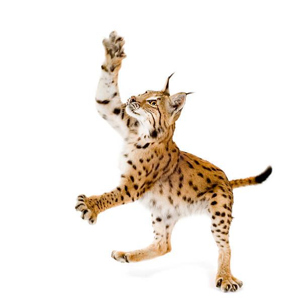 Lynx picture id93211411?b=1&k=6&m=93211411&s=612x612&w=0&h=wxxrorzttjqzucyprqesopd 0rpoj45xkkc2 zaaonc=