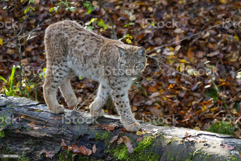 Lynx - Royalty-free Bont Stockfoto