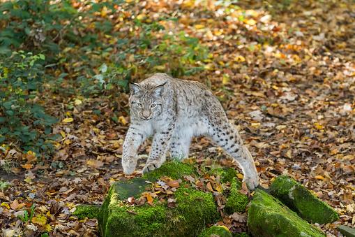 Lynx Stockfoto und mehr Bilder von Deutschland