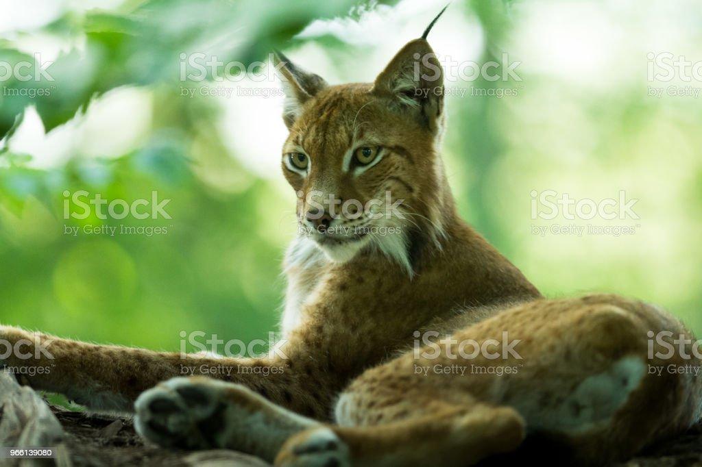 Lynx - Lizenzfrei Deutschland Stock-Foto