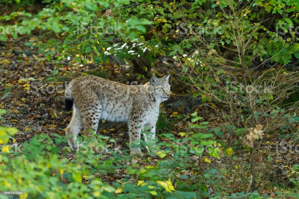 Lynx - Foto de stock de Aire libre libre de derechos
