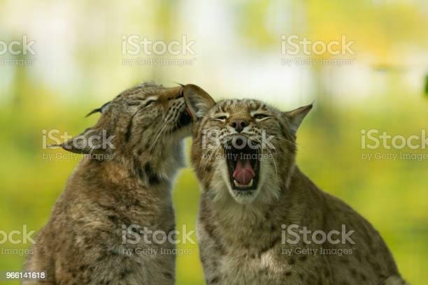 Lynx-foton och fler bilder på Brokigt mönster