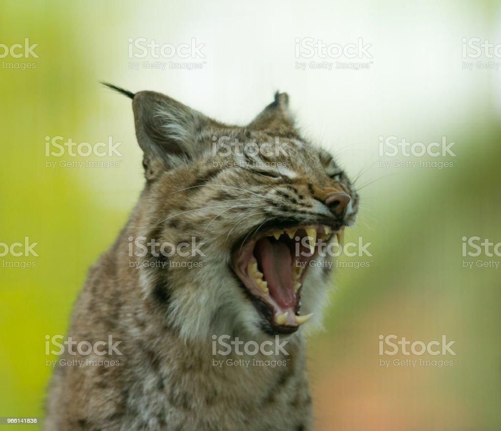 Lynx - Foto stock royalty-free di Ambientazione esterna