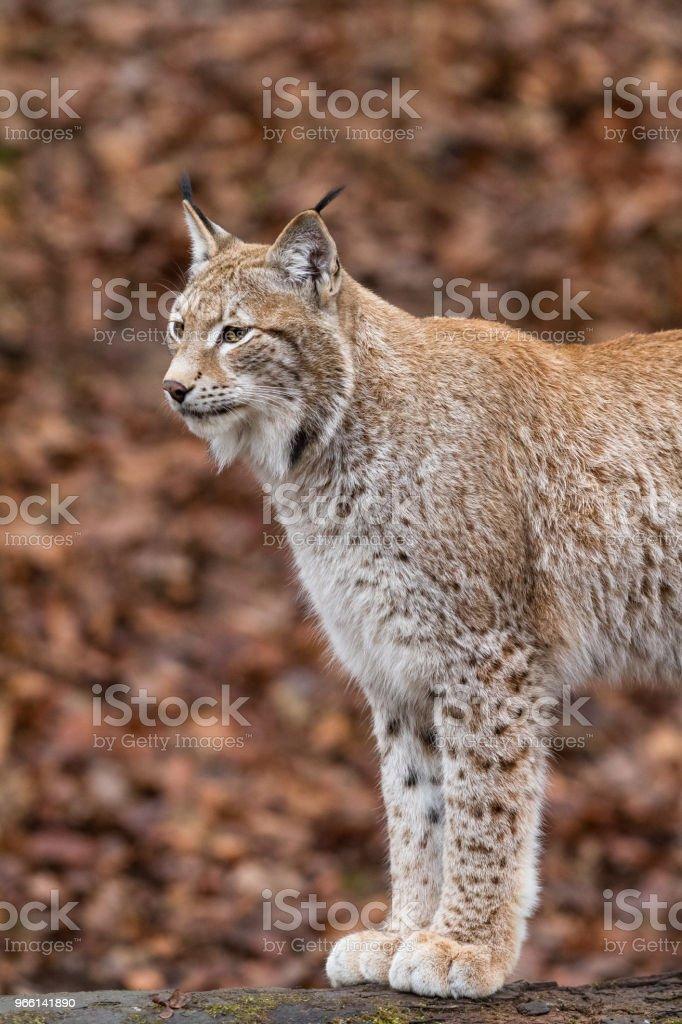 Lynx - Стоковые фото Американская рысь роялти-фри