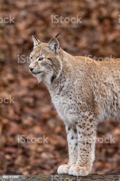 Lynx — стоковые фотографии и другие картинки Американская рысь