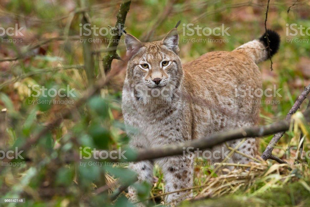 Lynx - Royaltyfri Brokigt mönster Bildbanksbilder