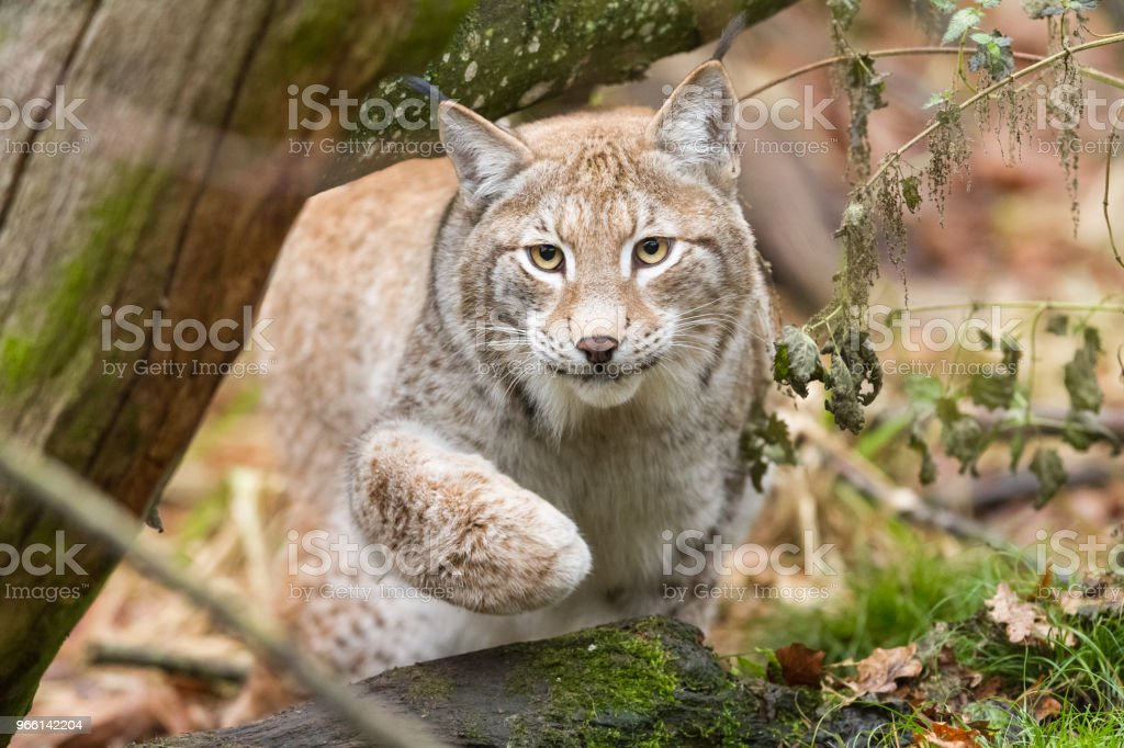 Lynx - Royalty-free Animal Stock Photo