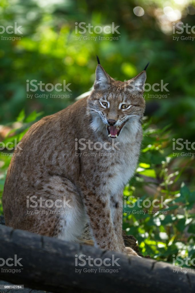Lynx - Royalty-free Bont Stockfoto
