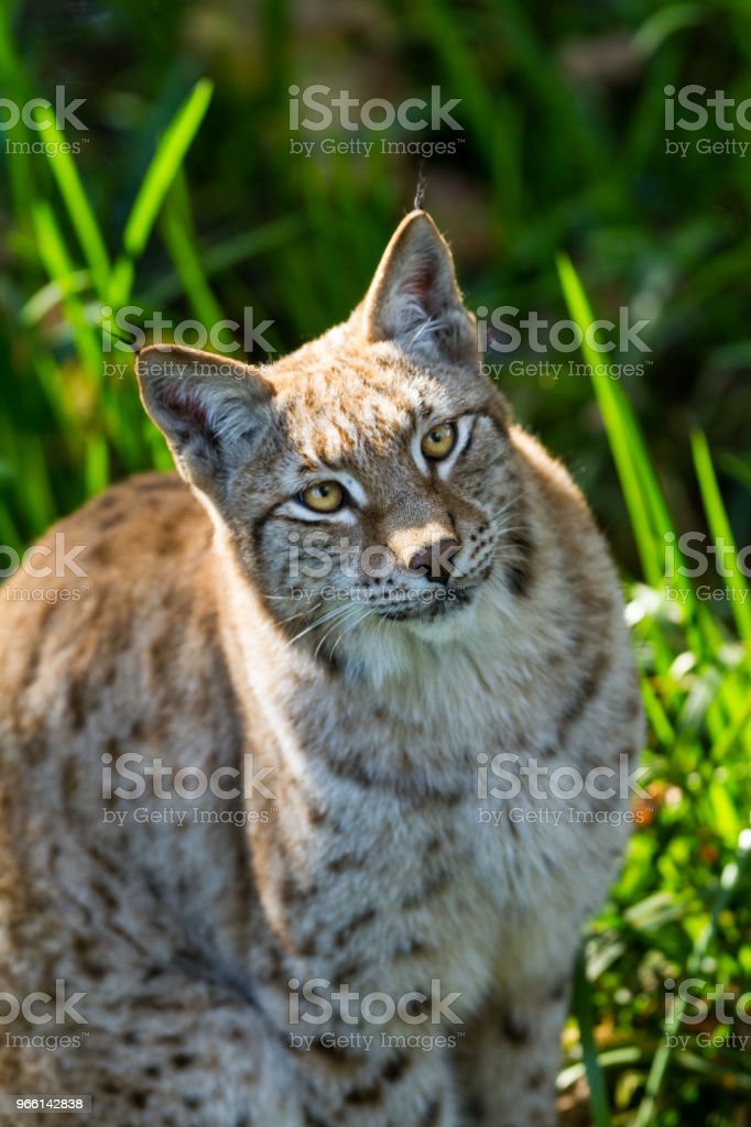 рысь - Стоковые фото Американская рысь роялти-фри