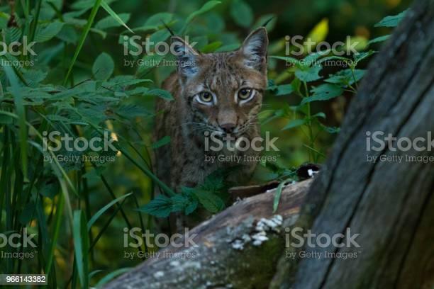 Lynx Stockfoto en meer beelden van Bont