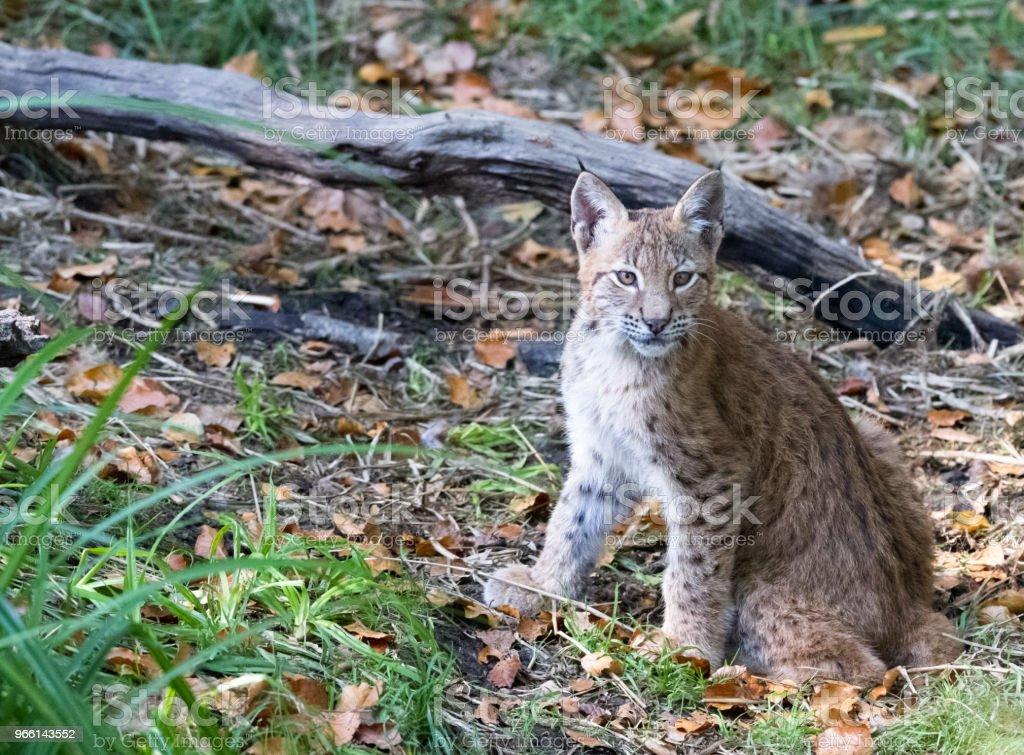 Lynx - Royalty-free Alemanha Foto de stock