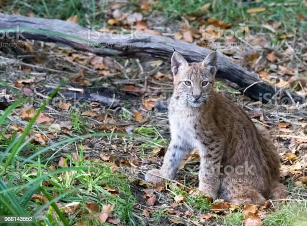 Lynx - Fotografias de stock e mais imagens de Alemanha