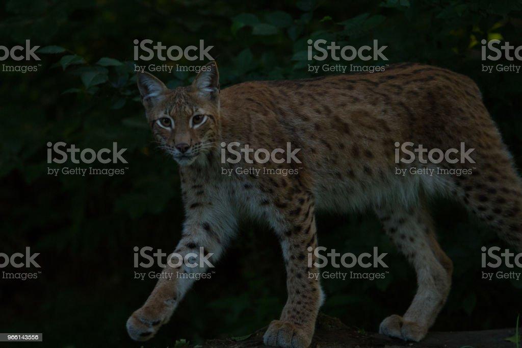 Lynx - Royalty-free Animal Stock Photo