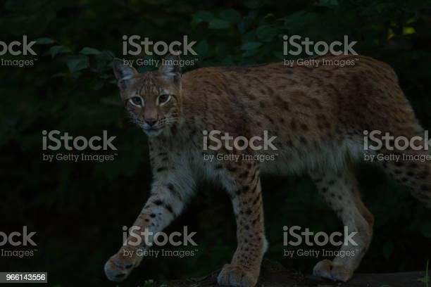 Lince - Fotografie stock e altre immagini di Ambientazione esterna