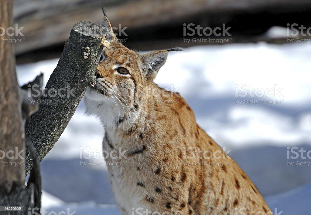 Lynx foto stock royalty-free