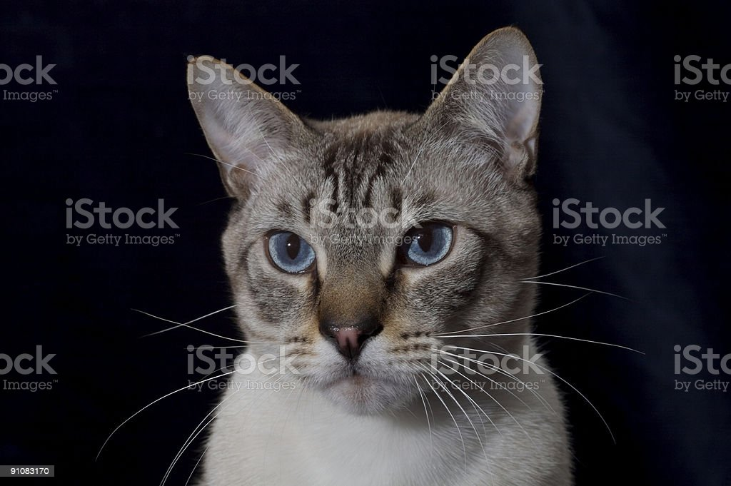 Lynx point Siamese Cat royalty-free stock photo