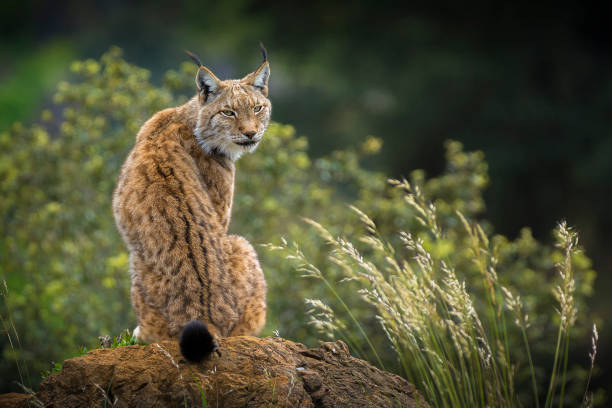 Lynx Portrait. Lynx in Cabarceno Natural Park, Cantabria.Spain. eurasia stock pictures, royalty-free photos & images