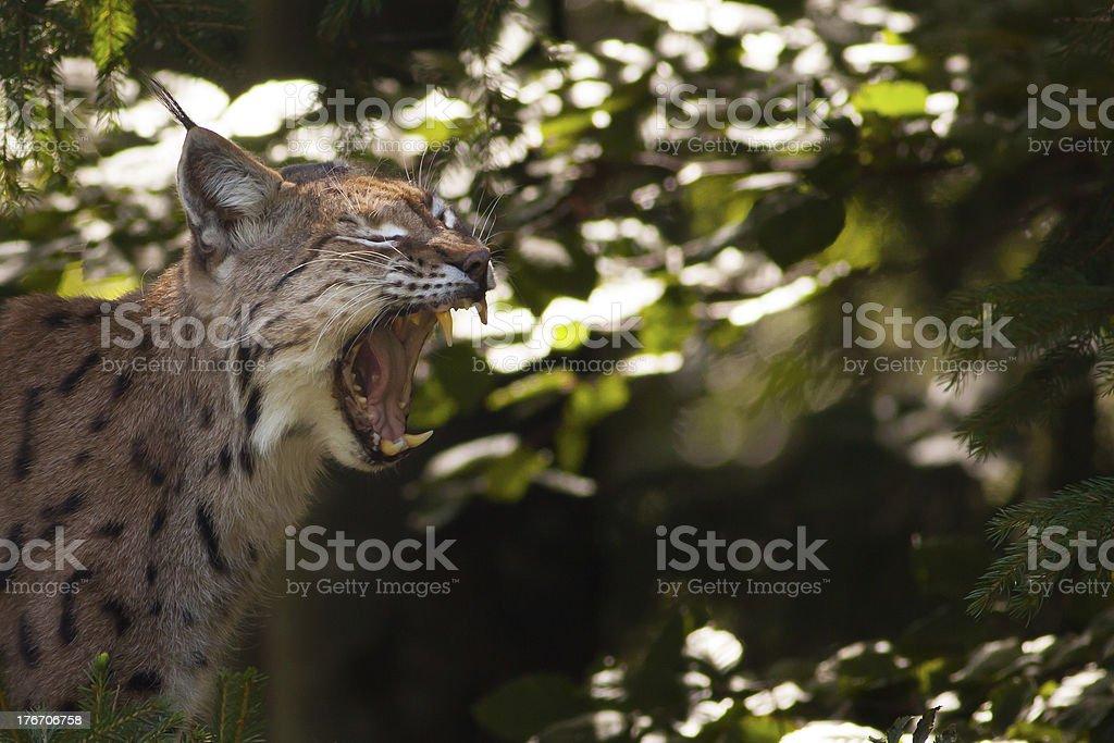 Lynx showing its teeth royalty-free stock photo