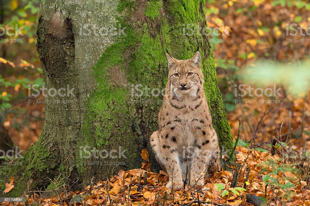 Lynx sitting in the Bavarian forest, during fall. stock photo