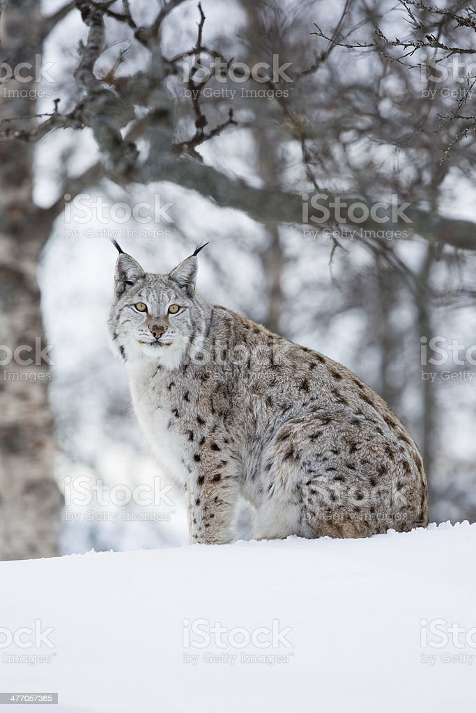 Lynx sitting in the snow a cold winter stock photo
