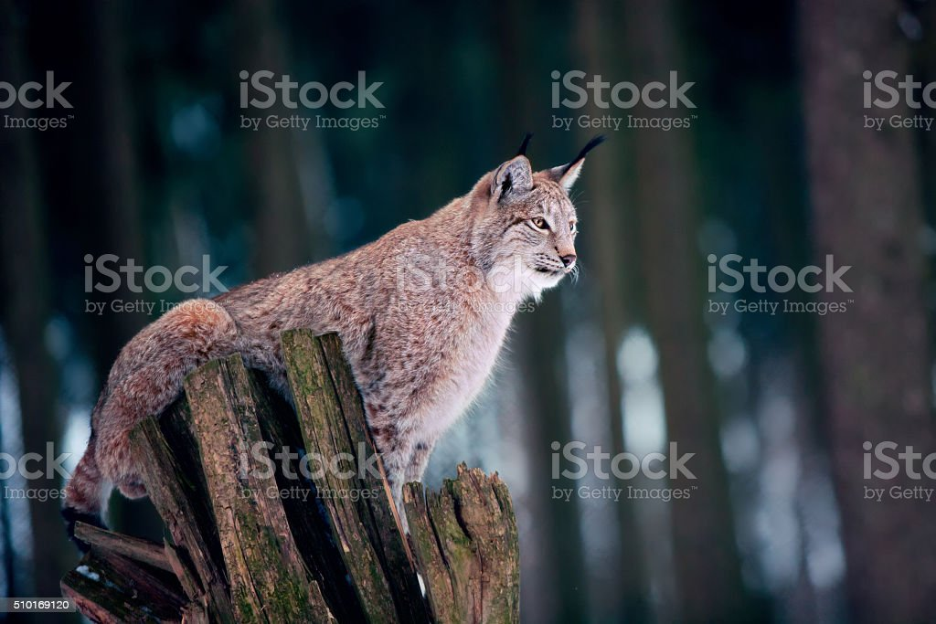 Lynx sitting on Tree Stump stock photo