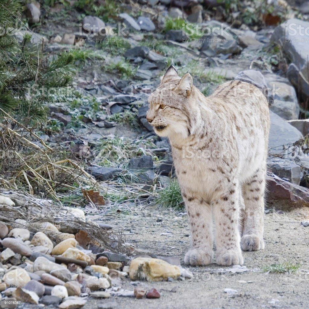 lynx snarling royalty-free stock photo
