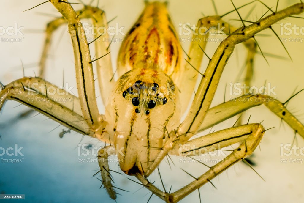 Aranha lince em Macro - foto de acervo