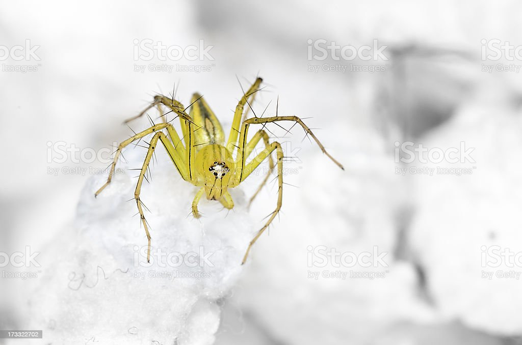 Lynx Spider on the highest swab royalty-free stock photo