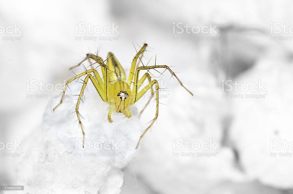 Lynx Spider on the highest swab stock photo