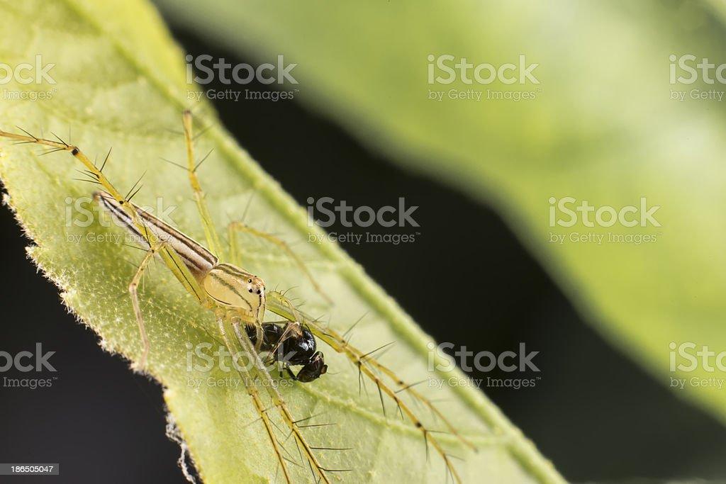 lynx spider royalty-free stock photo