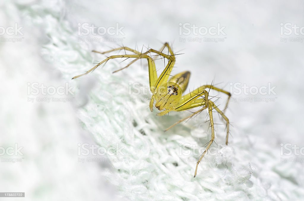 Lynx Spider that i found in on a swab. stock photo
