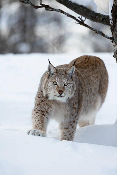Lynx Sich anschleichen im Wald – Foto