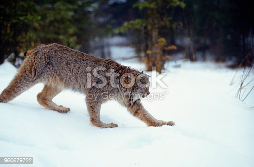 An American Lynx stalks through the snow of a forest opening in Montana.