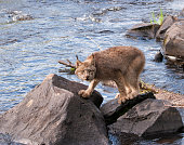Canada lynx navigating its way across the river using large rocks