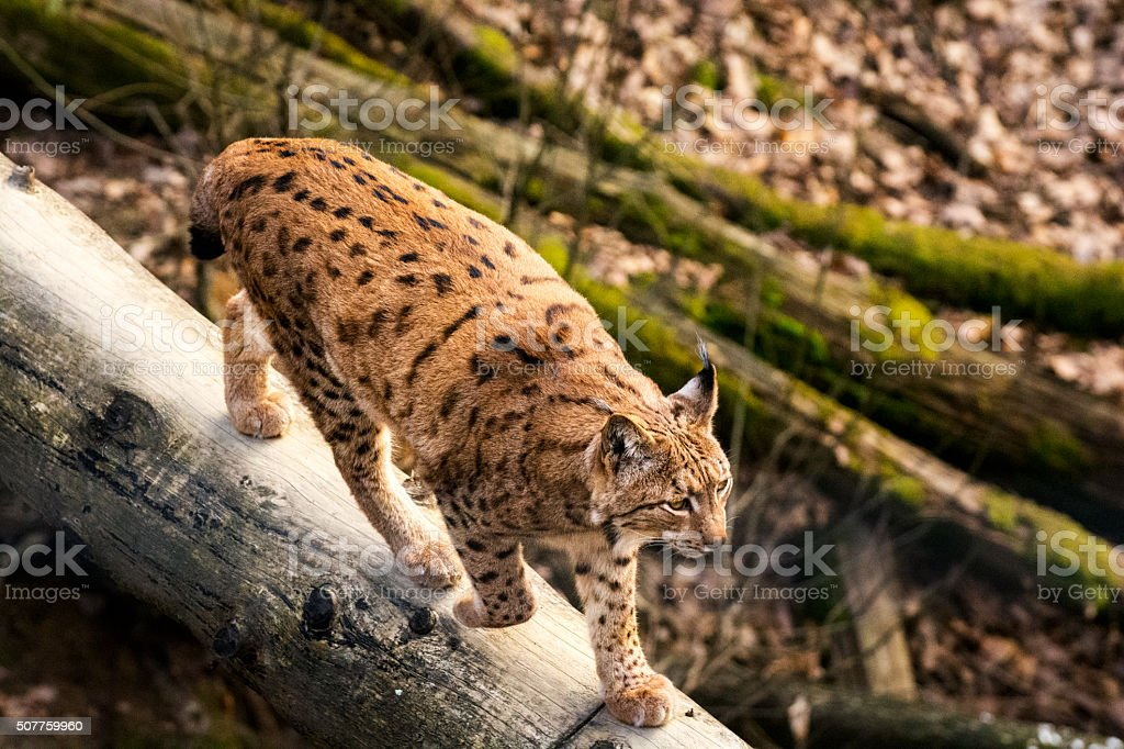 Lynx walks across a fallen tree trunk in deep forest stock photo