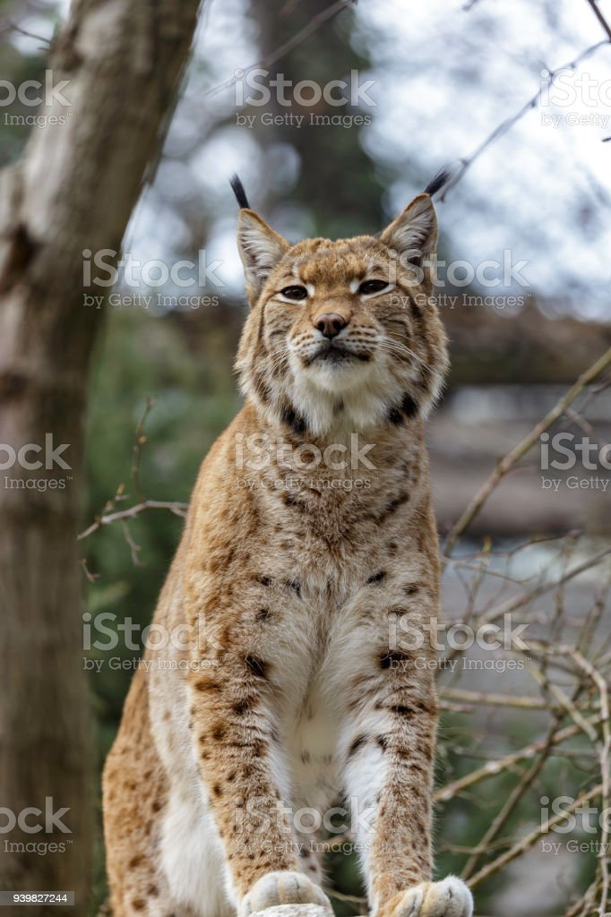 Lynx Wild Cat Native To Siberia Stock Photo - Download Image Now