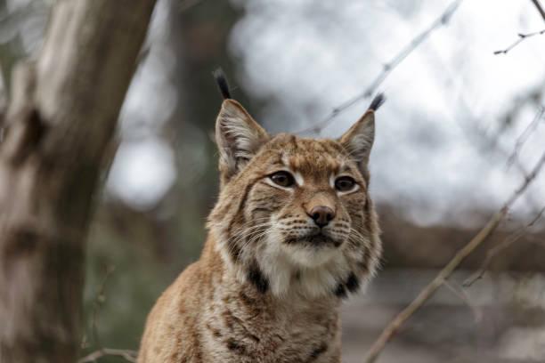lynx 야생 고양이 시베리아 원주민 - 벨리카 파트라 뉴스 사진 이미지