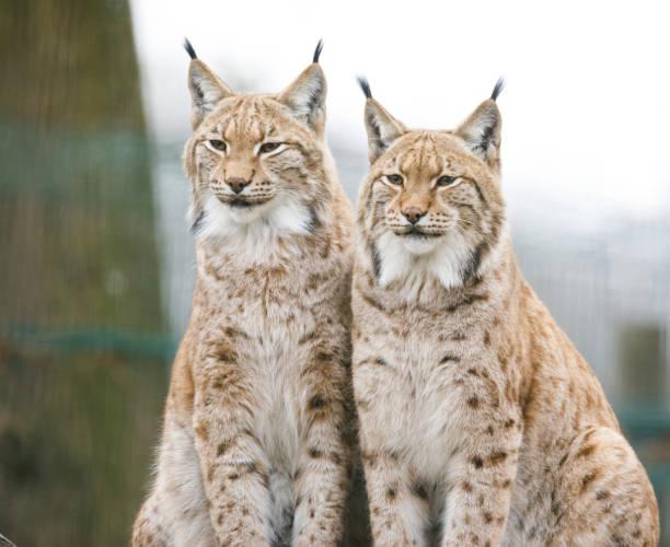 Lynxs im ZOO – Foto