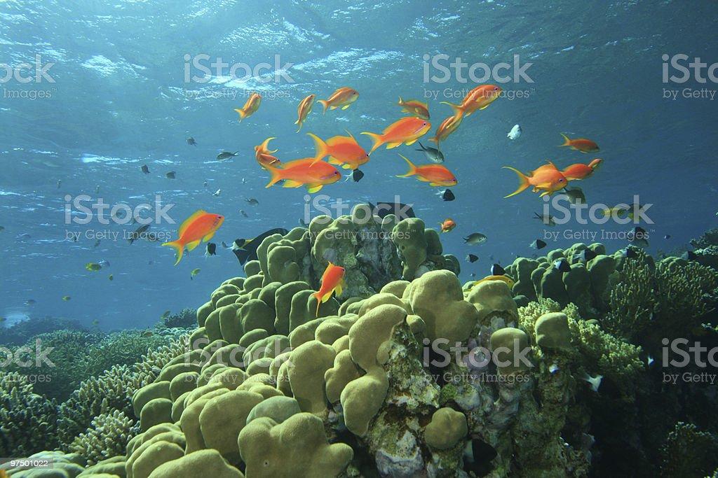 Lyretail Anthias on a coral reef royalty-free stock photo