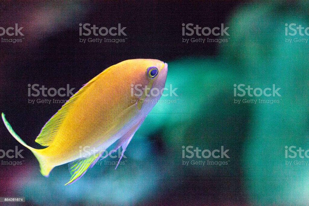 Lyretail fairy basslet fish Pseudanthias squamipinnis stock photo