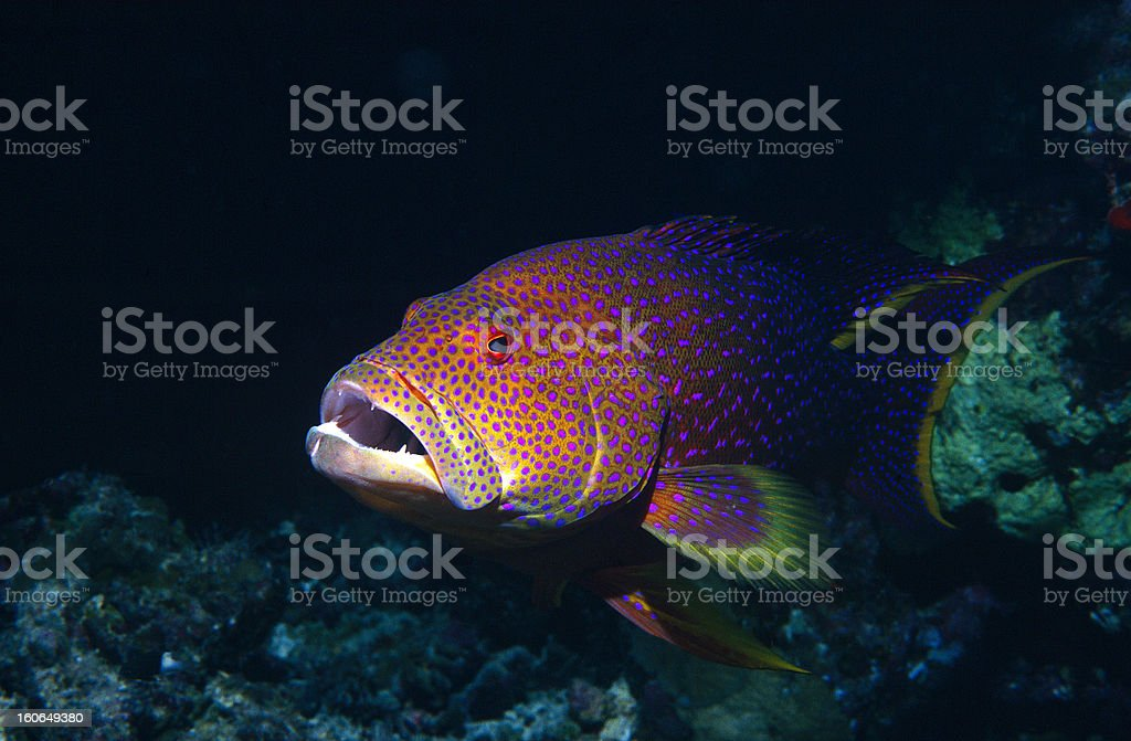 Lyretail grouper royalty-free stock photo