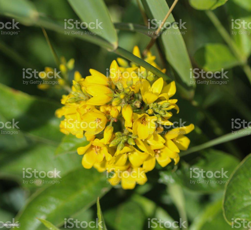 Lysimachia vulgaris flower the garden loosestrife yellow loosestrife lysimachia vulgaris flower the garden loosestrife yellow loosestrife or garden yellow loosestrife mightylinksfo
